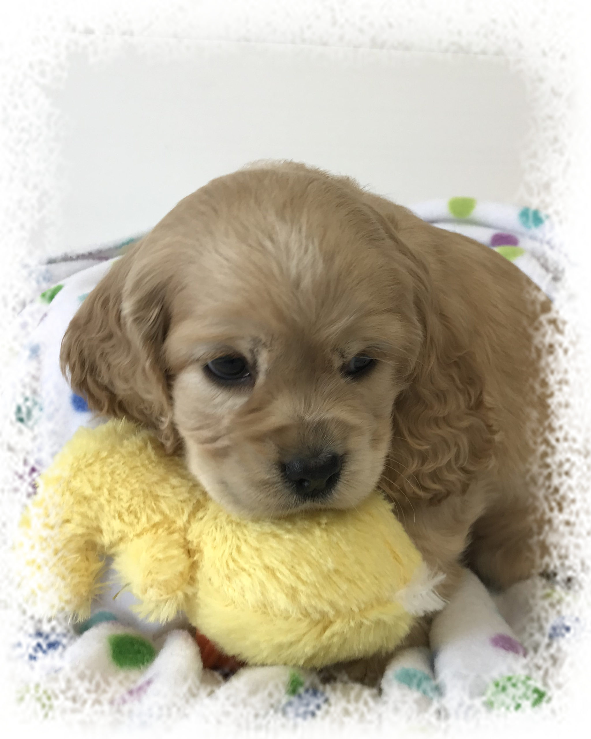 Daisy's Charlie – Reserved by Shelly & Family