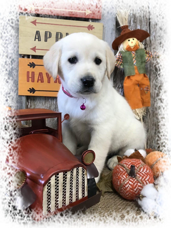 Goldador Our Dog Breeds Candyville Pups