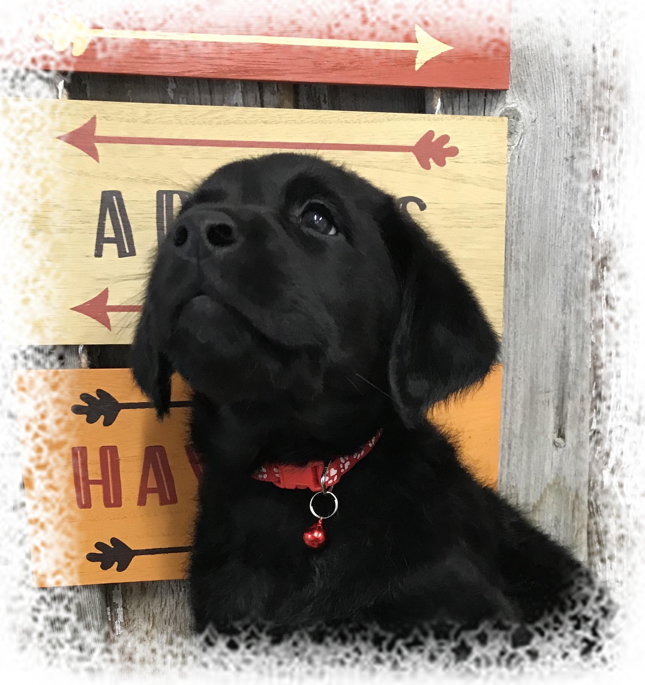 Previous Goldador Pups