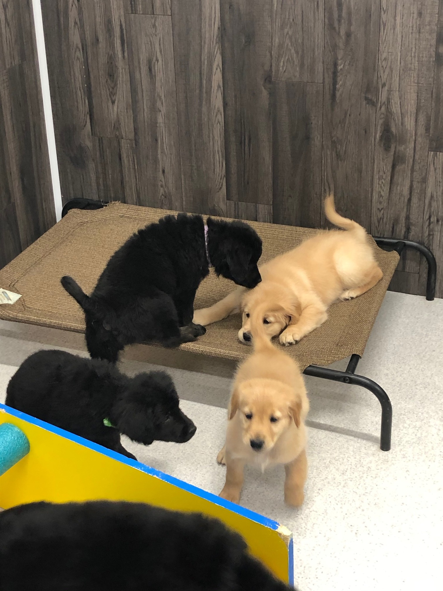 Play date with Timber's Goldens