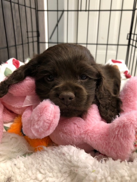 Dixie's Hershey -RESERVED by Shauna, Woodstock, ON