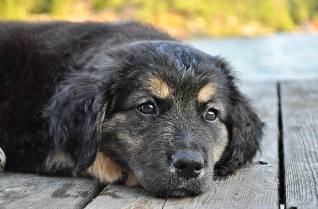 Brindled Pup