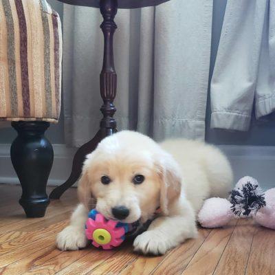 Cream pup